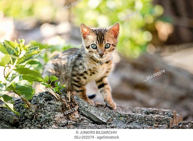 Bengal cat. Kitten sitting on a tree trunk in a garden. Germany