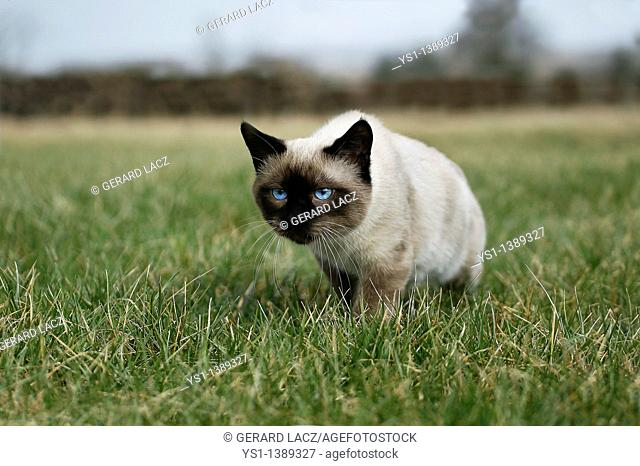 Seal Point Siamese Domestic Cat, Male standing on Grass, Normandy