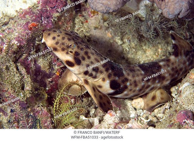 Papuan epaulette shark, Hemiscyllium hallstromi, Raja Ampat, Irian Jaya, West Papua, Pacific Ocean, Indonesia