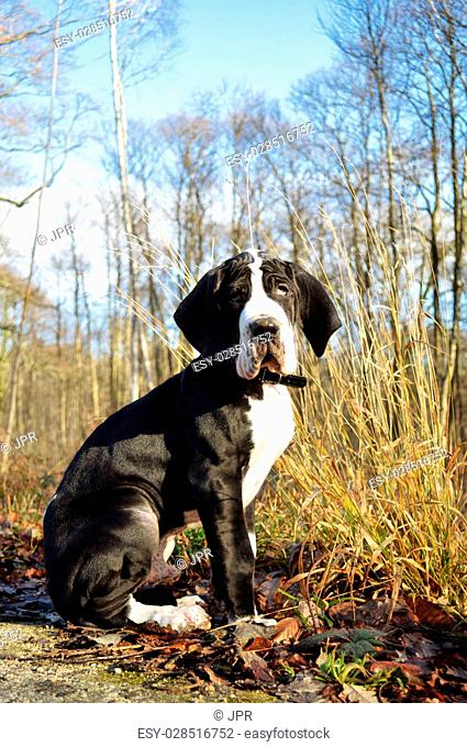 Great Dane puppy sitting in the forest