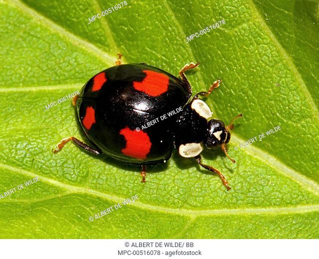 Asian Ladybird Beetle (Harmonia axyridis), Koudekerke, Netherlands