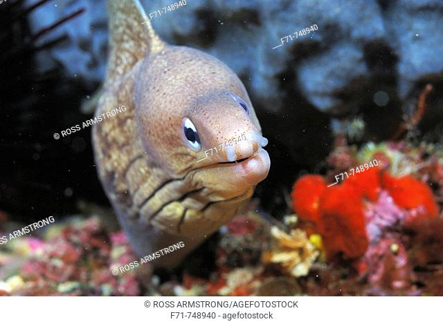 Grey moray eel (Gymnothorax nubilus).  Poor Knights Islands, New Zealand. South Pacific Ocean