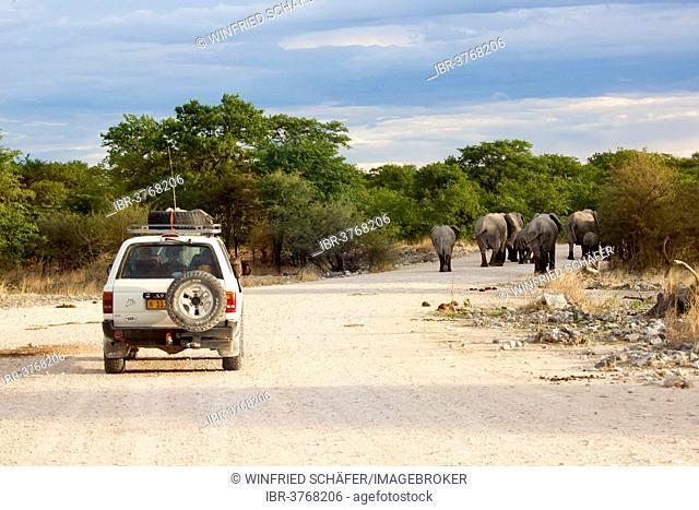 African elephants (Loxodonta africana) on a road followed by a safari vehicle, Etosha-Nationalpark, Namutoni, Namibia