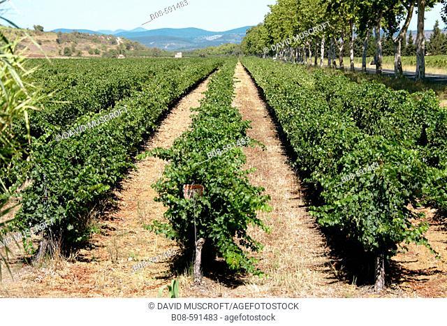 Vineyard. Languedoc-Roussillon. France