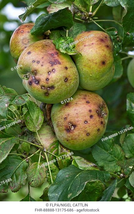 Small discreet spots caused by apple scab, Venturia inaequalis, on a group of ripe apples, Berkshire, September