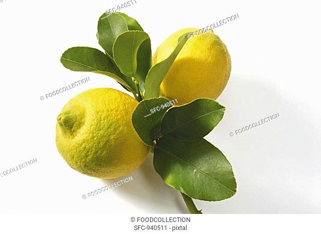 Two lemons on branch