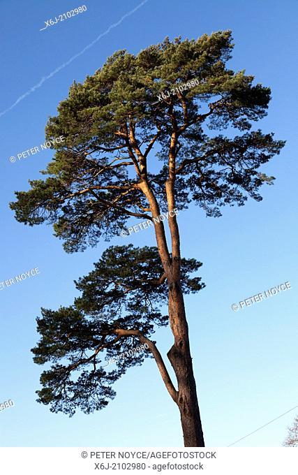 Tall Scots pine (Pinus sylvestris) tree sunlit against blue sky