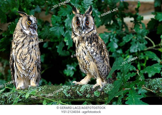 Long-Eared Owl, asio otus, Normandy
