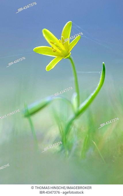 Yellow Star-of-Bethlehem (Gagea lutea) with cobwebs, Middle Elbe Biosphere Reserve, Saxony-Anhalt, Germany