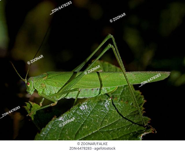 sickle-bearing bush cricket Phaneroptera falcata?