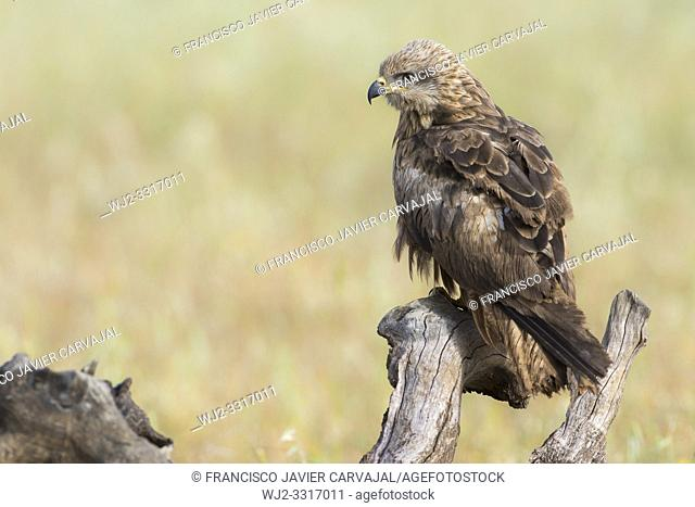 Black Kite (Milvus migrans), perched in a meadow in Extremadura, Spain