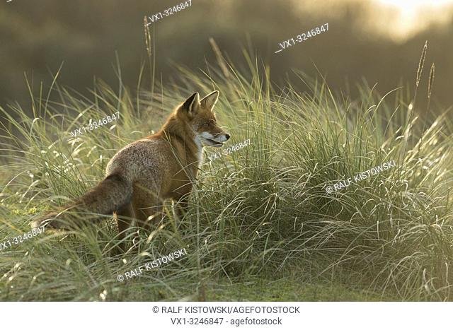 Red Fox / Rotfuchs ( Vulpes vulpes ), adult animal, stands in high grass, watching concentrated into the far, in wonderful soft backlight
