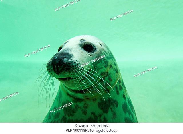 Grey seal / gray seal (Halichoerus grypus) swimming underwater in basin at Seal Centre / Seehundstation Friedrichskoog, Schleswig-Holstein, Germany