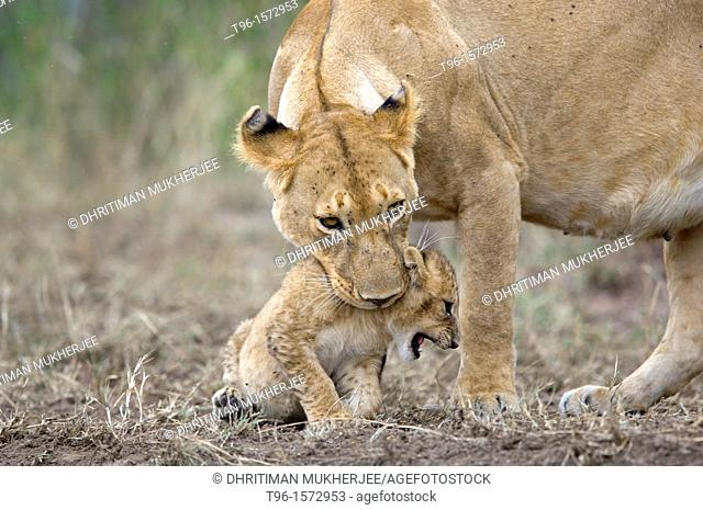 African Lion and Cub Panthera leo leo iucn status - vulnerable mother and child masaimara kenya