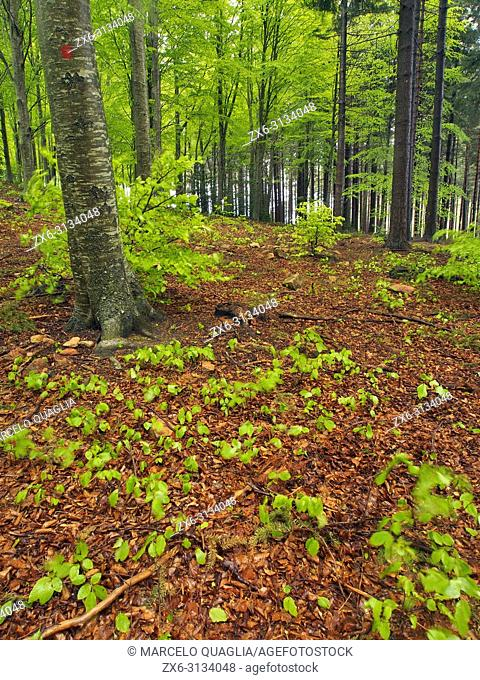 Beech forest (Fagus sylvatica) at Pla del Rovirol area. Spring time at Montseny Natural Park. Barcelona province, Catalonia, Spain