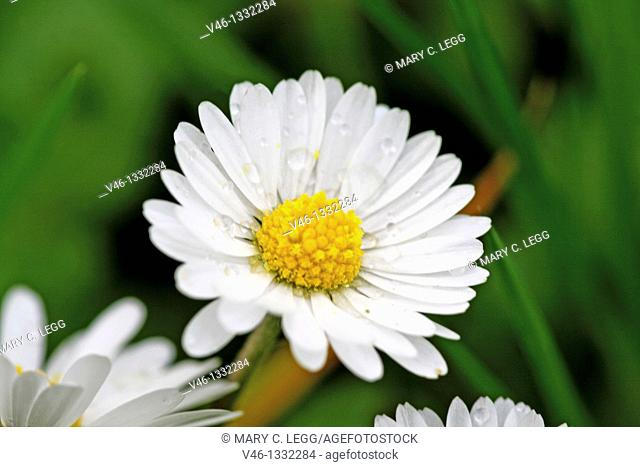Common Daisy, Bellis perennis  Flower head  sprinkled with raindrops