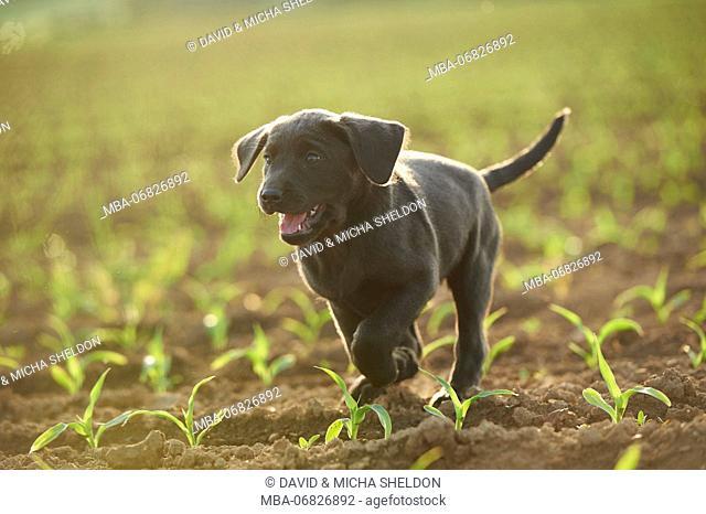 Labrador retrievers, grey, puppy, meadow, frontal, run