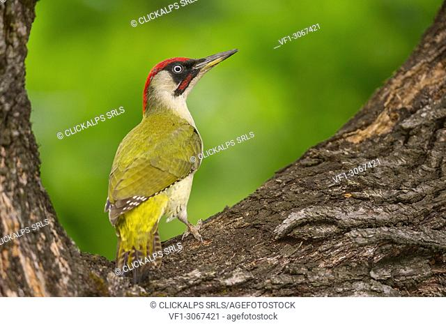 European green woodpecker on the tree, Trentino Alto-Adige, Italy