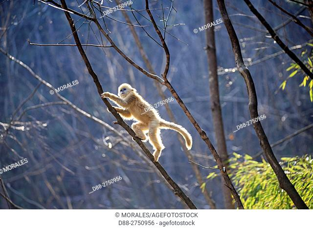 Asia, China, Shaanxi province, Qinling Mountains, Golden Snub-nosed Monkey (Rhinopithecus roxellana), youg playing in the tree