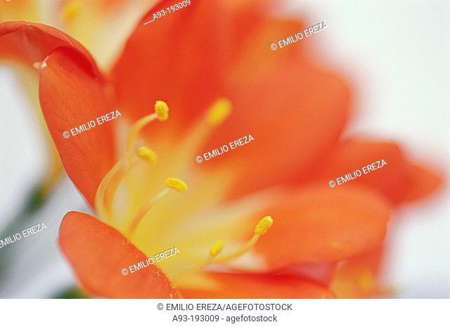 Clivia (Clivia miniata)