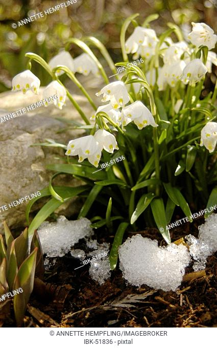Spring knot flower, spring snowflake with snow remains