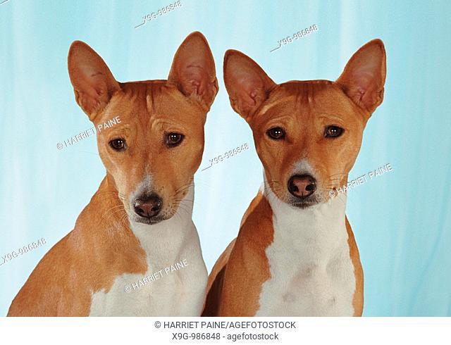 Basenji, two Basenji dogs