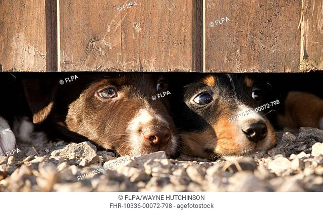 Domestic Dog, Border Collie sheepdog, two puppies, looking under door on farm, England, september