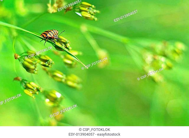 Graphosoma lineatum in a morning