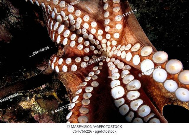 Eastern Atlantic Galicia Spain Octopus Octopus vulgaris, detail of the suckers