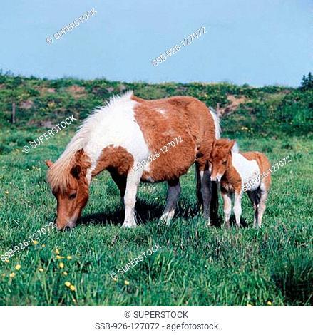 Shetland Pony Mare and Foal Scotland