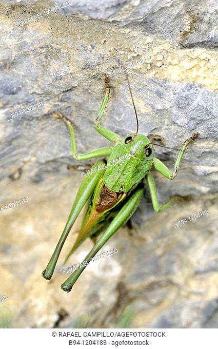 Grasshopper. Speckled bush-cricket. Leptophyes sp. Order Orthoptera. Fam. Tettigoniidae. Osseja, Languedoc-Roussillon, Pyrenees Orientales, France