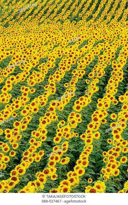 Sunflowers. Andalucia. Cadiz province. Spain