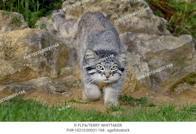 Pallas's Cat Felis manul adult walking, summer coat
