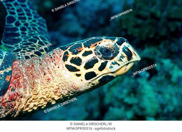 Hawksbill Turtle, Eretmochelys imbricata, North Ari Atoll, Maldives