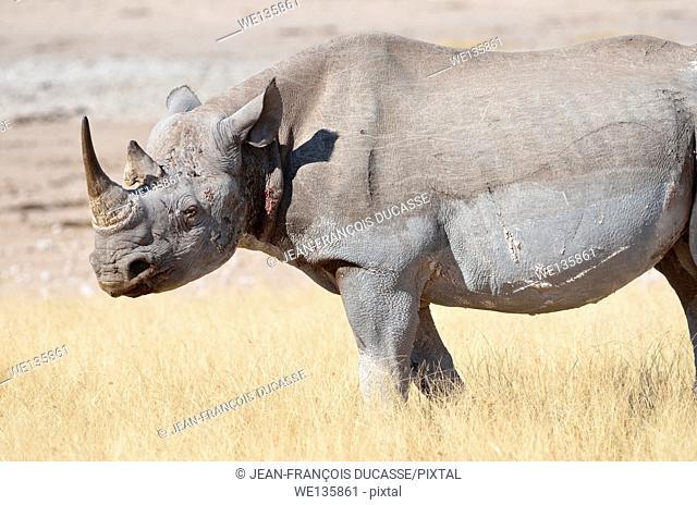 Black rhinoceros (Diceros bicornis), adult male standing in dry grass, Etosha National Park, Namibia, Africa