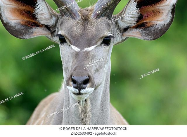 Greater kudu (Tragelaphus strepsiceros. Western Shores. iSimangaliso Wetland Park. KwaZulu Natal. South Africa