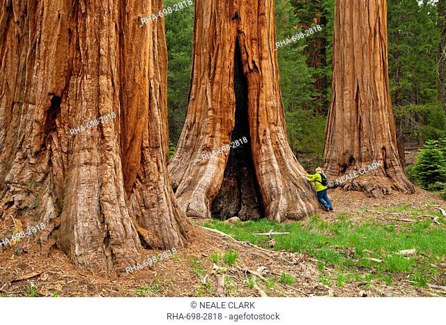 Tourist admiring the Giant Sequoia trees Sequoiadendron giganteum, on the Big Trees trail, Round Meadow, Sequoia National Park, Sierra Nevada, California