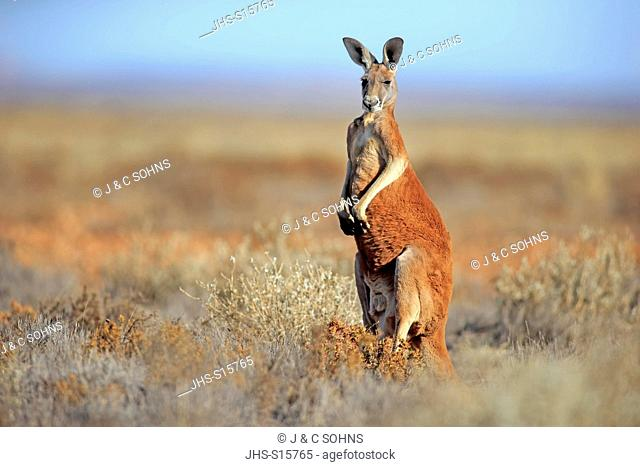 Red Kangaroo, (Macropus rufus), adult male alert, Sturt Nationalpark, New South Wales, Australia