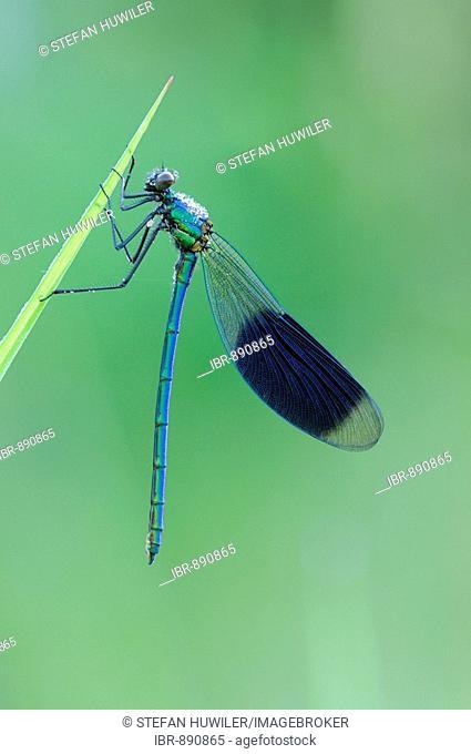 Portrait of a Banded Demoiselle (Calopteryx splendens)