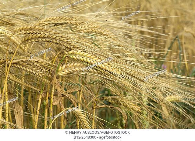 Barley Hordeum vulgare. France