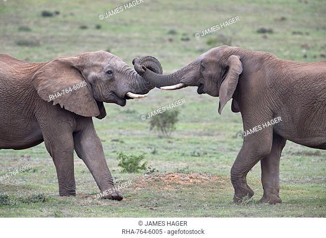 Two African Elephant (Loxodonta africana) bulls testing their strength, Addo Elephant National Park, South Africa, Africa