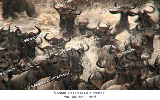 Wildebeest ( Conneathus taurinus) herd crossing the Mara river