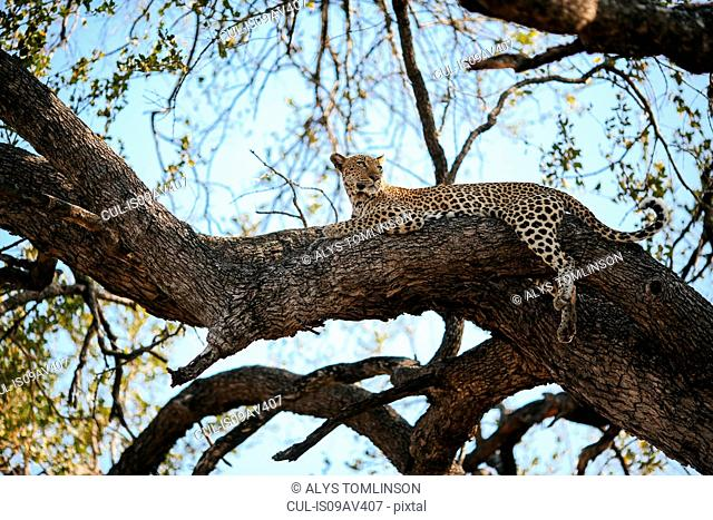 Leopard in tree, Kruger National Park, South Africa