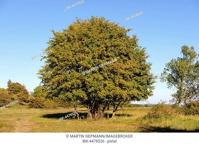 Rowan, mountain ash, rowan tree (Sorbus aucuparia) with red berries, Gnitz Peninsula, Lütow, Usedom, Mecklenburg-Western Pomerania, Germany