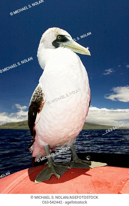 A curious juvenile masked booby (Sula dactylatra) resting on a small inflatable boat in the AuAu Channel, Maui, Hawaii. Pacific Ocean