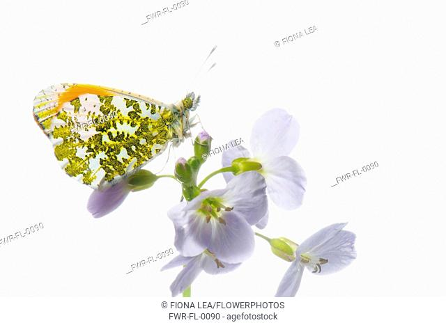 Studio shot of Male Orange Tip butterfly on Cardamine pratensis, Cuckoo flower