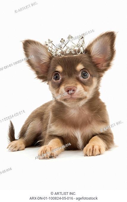 A puppy wearing tiara