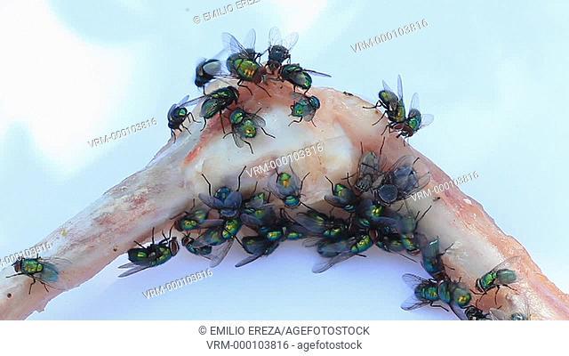 Flies on bones
