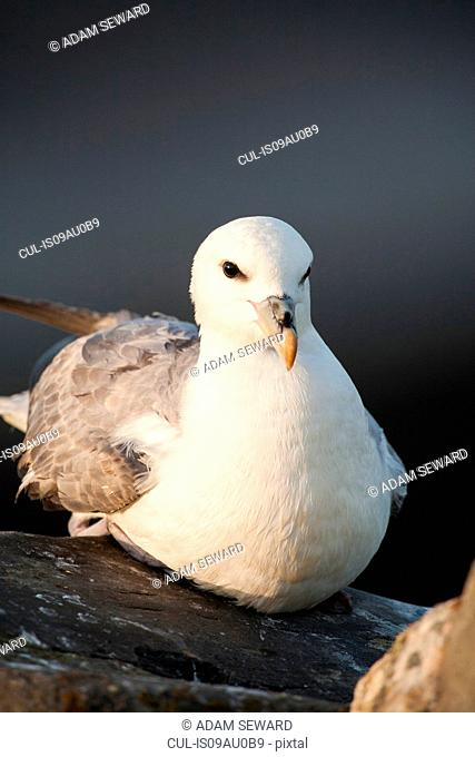 Fulmar (fulmarus glacialis) sitting on rock looking at camera, Fair Isle, Shetland, United Kingdom