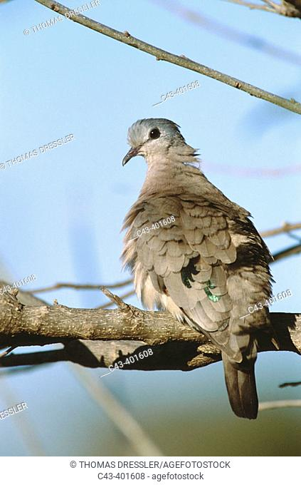 Emerald-Spotted Dove (Turtur chalcospilos). Kruger National Park, South Africa